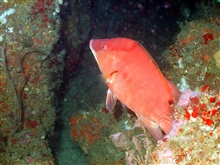 A hogfish on a ledge.