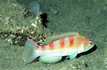 A red hogfish (Decodon puellaris)