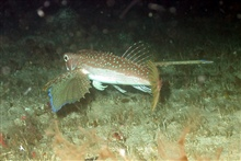 A flying gurnard.