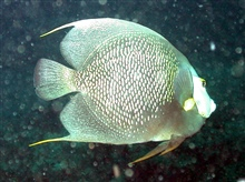 A gray angelfish.