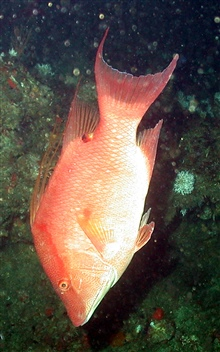 Order - Perciformes; Family - Labridae; Genus - Lachnolaimus; Species - maximus.Common name hogfish.