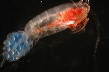 Zooplankton. Copepod with eggs.