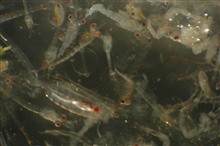 Zooplankton. An assortment of crustaceans.
