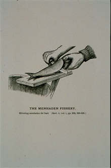 Slivering menhaden for baitFrom Report U. S. Fish Commission, Part V, 1877