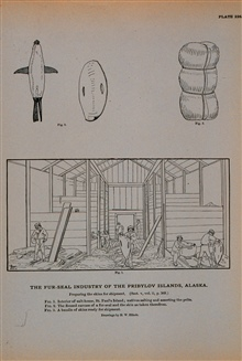 Preparing fur-seal-skins for shipmentFig. 1.  Interior of salt-house, Saint Paul's IslandNatives salting and assorting the peltsFig. 2.  The flensed carcass of a fur-seal and the skin taken therefromFig. 3.  A bundle of skins ready for shipment