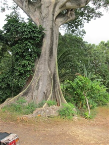 Kapok (Ceiba pentandra) tree, used for making artisanal fishing canoes