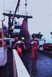 Trawling operations on the MILLER FREEMAN.  A full net-load of fish broughtaboard.  The cod end is being lifted.  It willbe dumped in the checker, i.e, the sorting table.