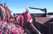 Scientist sorting the catch after being dumped in the checker from the cod endof the trawl.