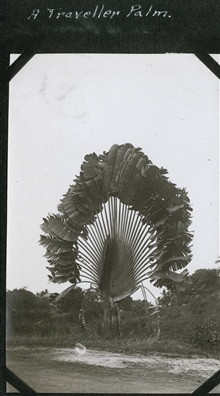 A traveler palm tree (Ravenala madagascariensis).