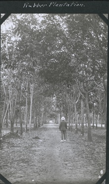 A rubber plantation on Borneo.