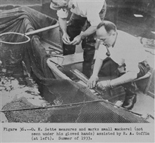O.E. Sette measures and marks small mackerel (not seen under his gloved hands)assisted by R.A. Goffin (at left).The Story of the BCF Biological Laboratory Woods Hole, Massachusetts, by P. S.