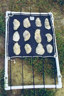 This project was conducted to determine if geotube material could be used toas suitable substrate for oyster spat.