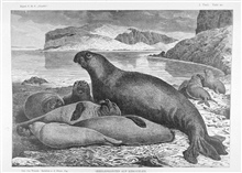 Sea elephants at Kerguelen Island in the southern Indian Ocean at 49 20 S Lat.,70 20 E. Long.