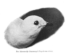 The head of a snow petrel, Pagodroma nivea.  P.237.In: Aus den Tiefen des Weltmeeres by Carl Chun, 1903. Call No. Q115.V15 1903.