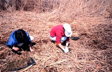 NOAA volunteers plant smooth cordgrass, Spartina alterniflora
