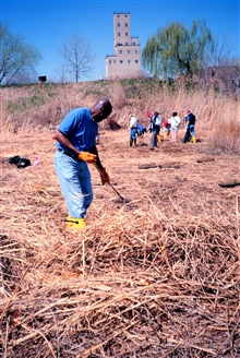 Livingston Marshall of Morgan State University removes Phragmites australis, anon-native invasive species.