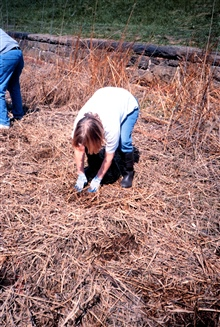 Volunteers plant the Spartina alterniflora seedlings in the dried salt marsh.Most of the plantings done here were in the intertidal zone.