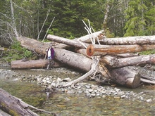 This image shows the huge size of the log jams at the Finney Creek restorationsite. Alison Studley of SFEG is in the foreground.