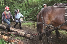 Draft horses bring woody debris to add complexity to the stream to improvespawning habitat at the Glade Bekken restoration site.