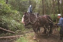 A driver prepares the draft horses to haul a load of woody debris to the upperstream bed.