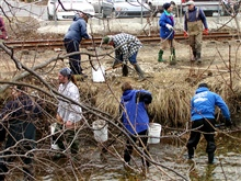 Volunteers work to restore smelt spawning habitat.