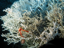 The Life on the Edge 2004 mission has collected a diverse array ofinvertebrate life around deep-sea corals. Squat lobsters are just one ofthe many types of organisms that use deep-sea corals for shelter.