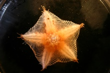 A  sea star brought up from a benthic ROV dive.