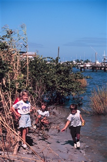 Volunteers plant mangrove propagules at the shoreline of Indian River Lagoon.