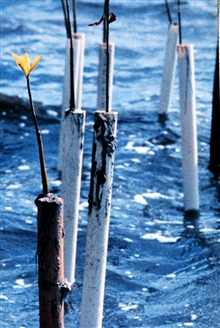 Mangrove seedlings are placed in PVC pipes to protect them from boat wakescaused by boats traveling at high speeds in the shallow estuarine waters of theIndian River Lagoon. The PVC protects them until they are large enough toestablish themselves in