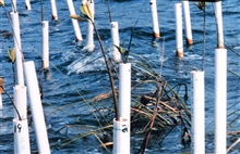One year old mangrove seedlings are protected from high speed boat wakes by aPVC cage.