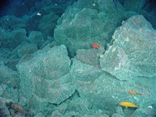 Pacific Ring of Fire Expedition. Tropical fish swim by rocks coatedwith white bacterial mat .  Unlike the fish, the bacterial mat is dependent onthe chemical energy provided by seafloor hot springsventing near the top of East Diamante volcano.