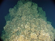 Pacific Ring of Fire Expedition. A dense bed of hydrothermal musselscovers the slope of Northwest Eifuku volcano near a seafloor hot springcalled Champagne vent .  Other vent animals living amongthe mussels include shrimp, limpets, and Galatheid crab