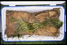 Zostera marina, eelgrass, about to be transplanted. These plants wereharvested from Damerion Marsh by the mouth of the Great Wicomico River.Submerged aquatic vegetation is a critical habitat that stabilizes sediments,oxygenates water and provides hab