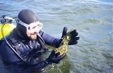 A diver collects eelgrass for transplanting. Eelgrass can't be grown in alaboratory so it must be collected from healthy sites and transported to the