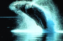 Humpback whales can leap clear out of the water.Megaptera novaeangliae