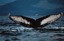 The notch in a humpback whale's tail is distinctive.Megaptera novaeangliae