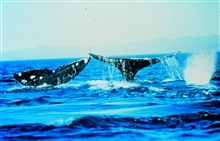 Humpback whales often flap their tails or fins on the water surface.Megaptera novaeangliae