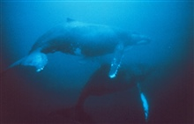 Humpback whales migrate from near the poles to tropical waters.Megaptera novaeangliae