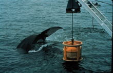 Humpback whale is attracted to an ROV, or undersea robot.Megaptera novaeangliae