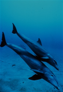 Mother and juvenile bottlenose dolphins head to the seafloor.Tursiops truncatus