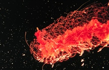 Physonect siphonophores are actually colonies of specialized polyps.