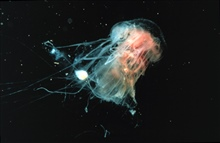 Cyanea jellyfish are common on the New England coast in summer.