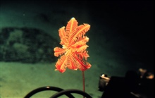 Delicate crinoid can orient towards the current to increase food capture.