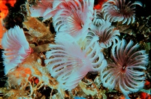 Feather duster worms, a type of annelid worm, and more specifically, tube-dwelling polychaete worms.  The arms are actually tentacles or radioles atthe anterior end of the worm.  Most of the worms' bodies are hidden within thetubes they have construc