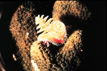 Colorful fireworm projecting from a coral head has a sting if touched.