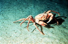 Golden crabs are the largest crustacean on the continental slope off Florida.