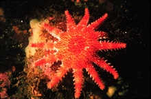 Starfish don't just have five arms-- this sun star has a dozen.