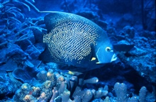 French angelfish are common on shallow tropical reefs.Pomacanthus paru.