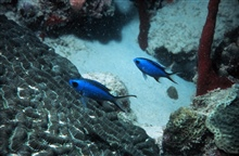 Blue chromis use corals for refuge from larger predators.Chromis cyaneus.