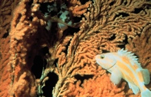 Rock fish blends in with soft coral cover.